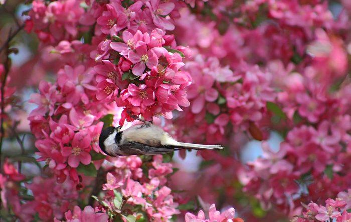 chickadee in flowering crabapple tree