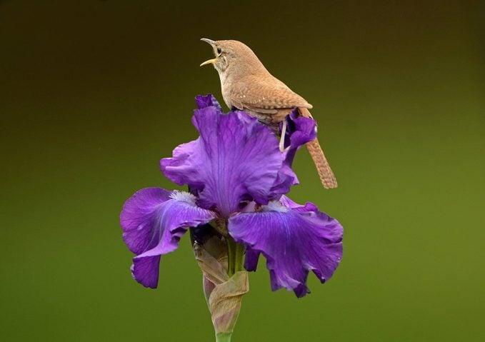 wren on iris flower