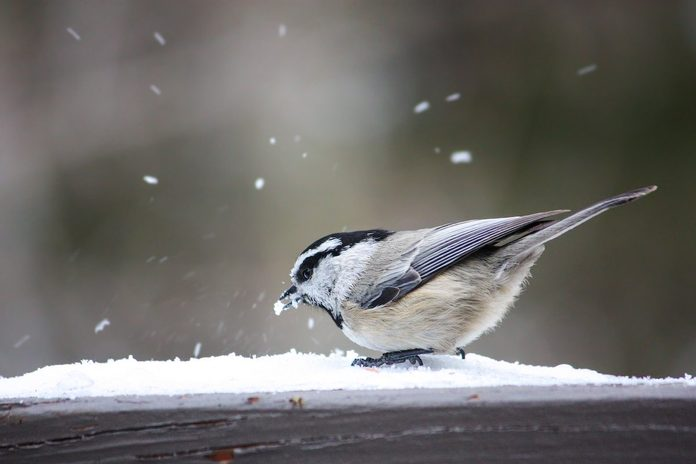 mountain chickadee in snow