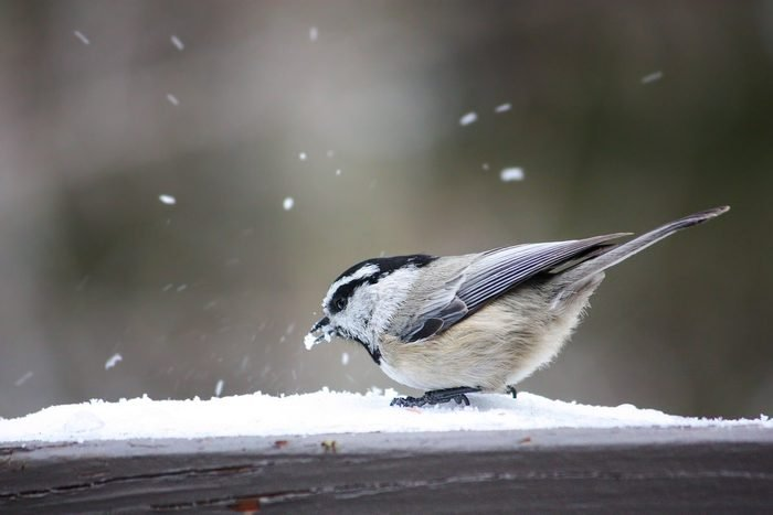 mountain chickadee in snow