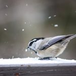 12 Winter Birds Myths and Facts