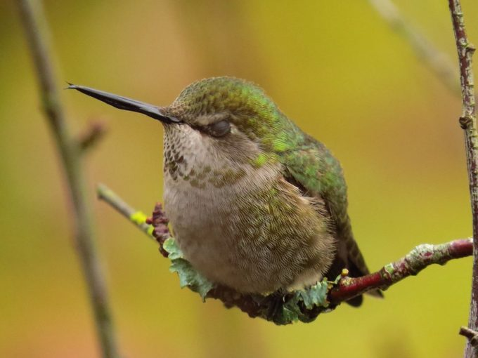 hummingbird on a branch with eyes closed