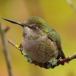 Where Do Hummingbirds Sleep at Night?