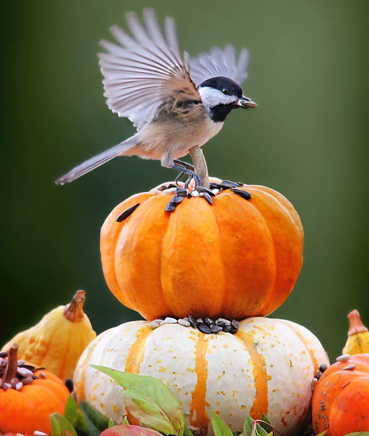 chickadee on tiny pumpkins