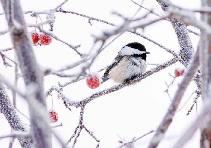 snowy day chickadee