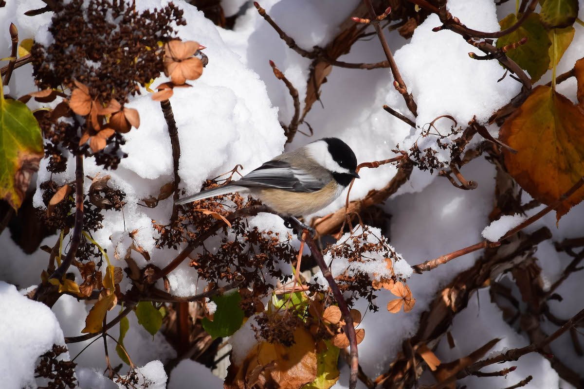 chickadee in snowy tree