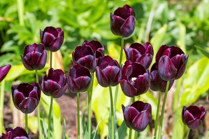 Queen of the Night tulip