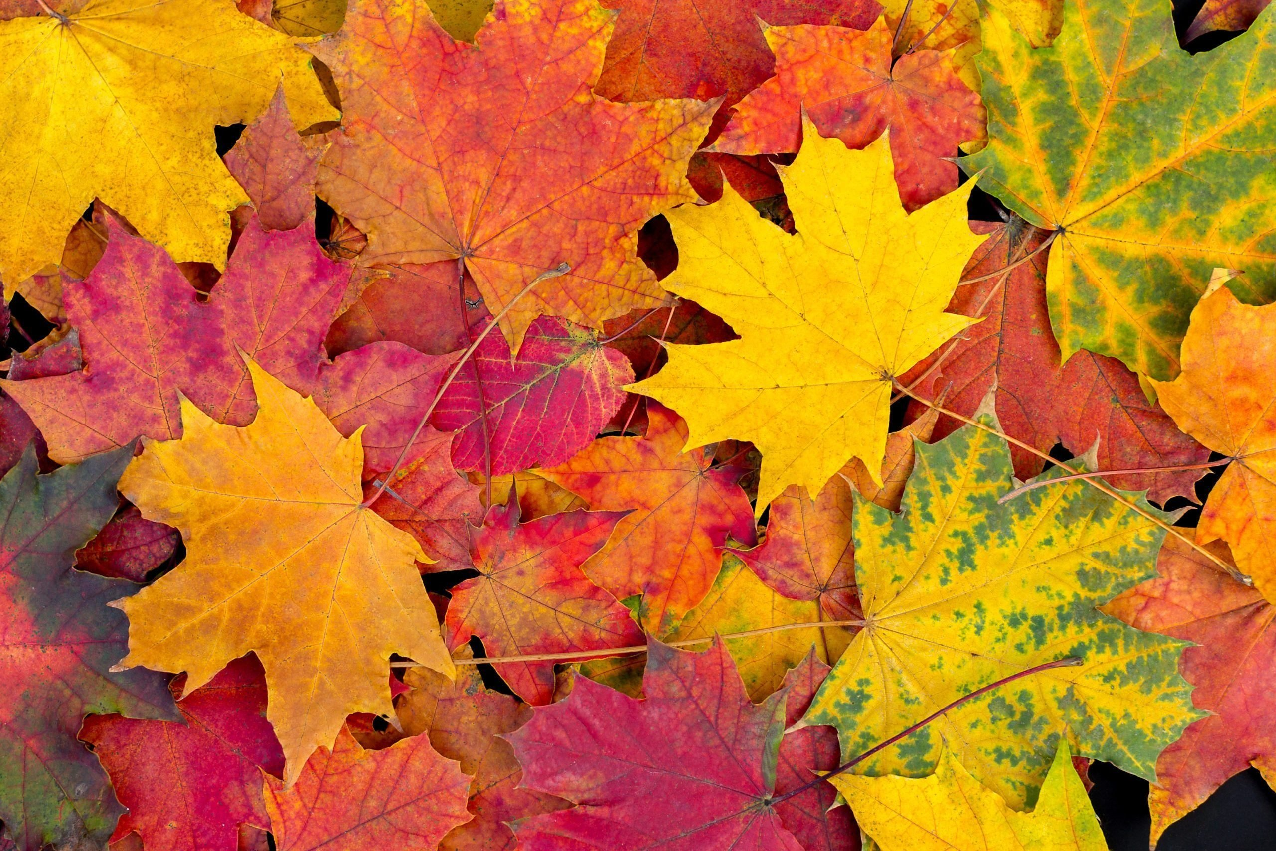 Autumn leaves background. Bright maple leaves