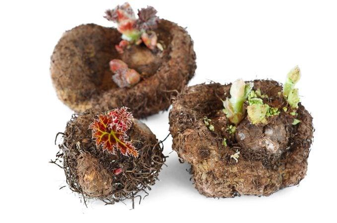begonia tubers