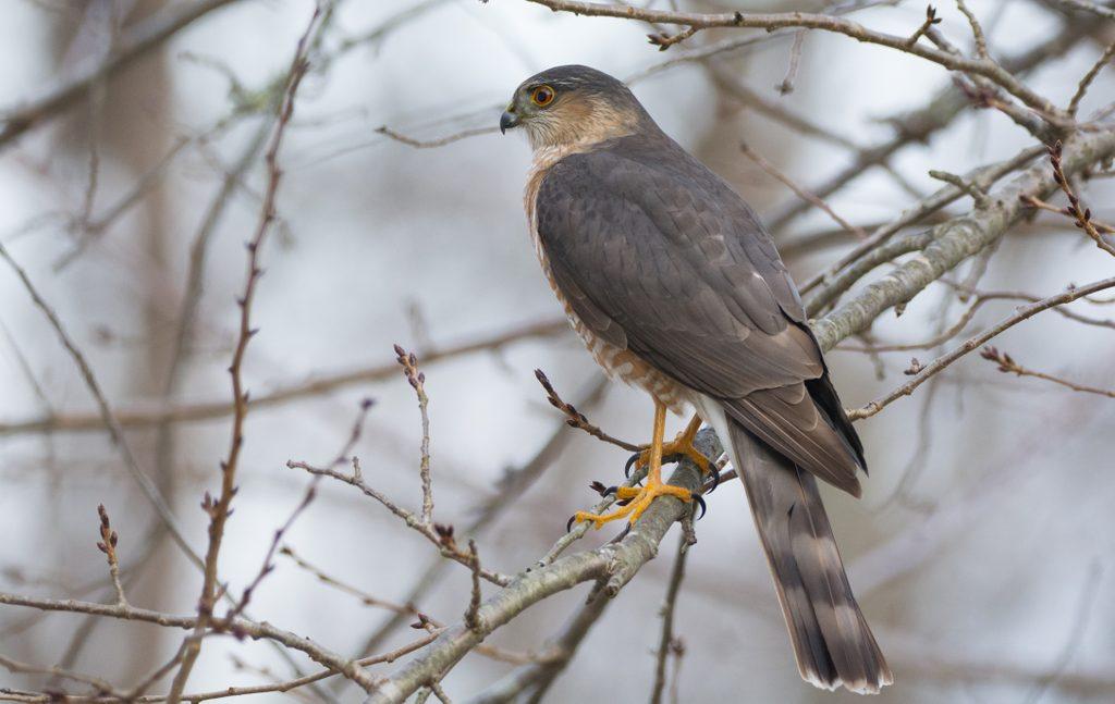 Sharp-Shinned Hawk In Tree