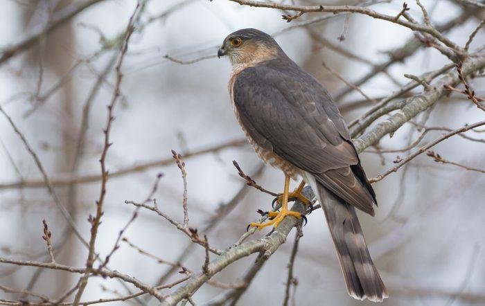 Cooper's Hawk vs Sharp-Shinned Hawk I