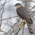 How to Identify Cooper's Hawks and Sharp-shinned Hawks