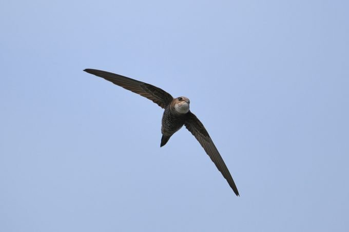 A Chimney Swift