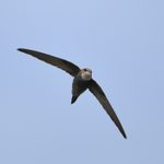 7 Fascinating Facts About Swift Birds