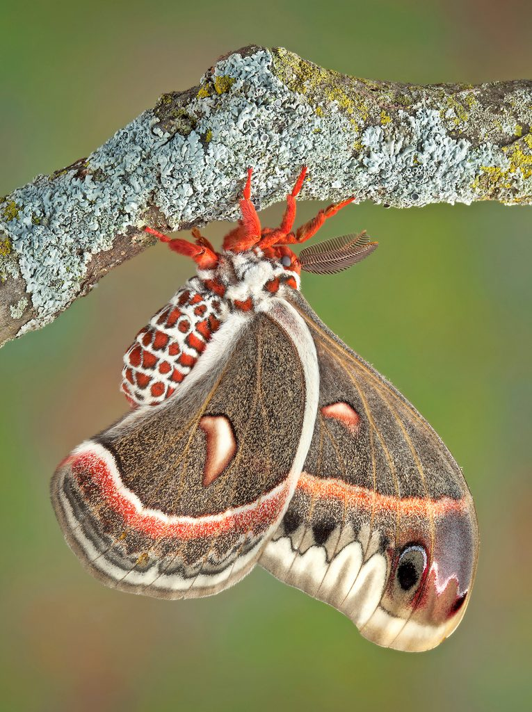 A cecropia moth pauses on a branch.