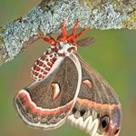 6 Fascinating Facts About Cecropia Moths