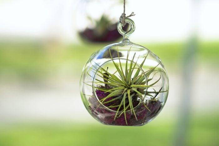 An air plant hanging in a glass terrarium.