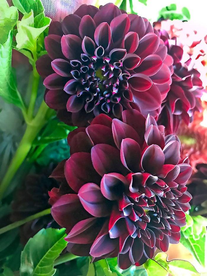 Black Satin dahlia
