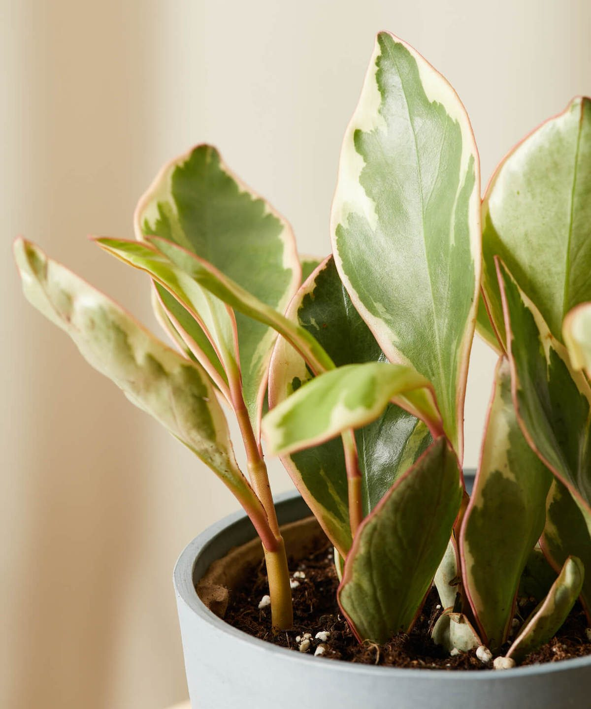 peperomia ginny plant