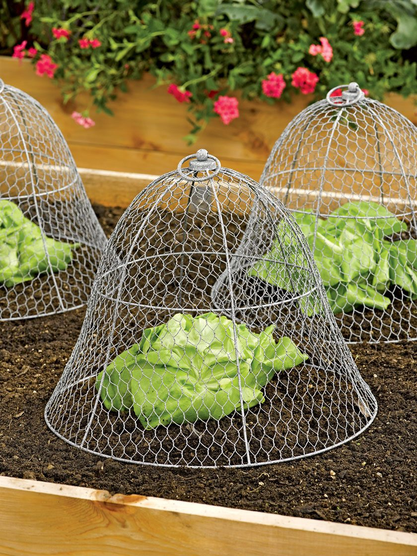 Lettuce protected by a bell-shaped chicken wire cloche.