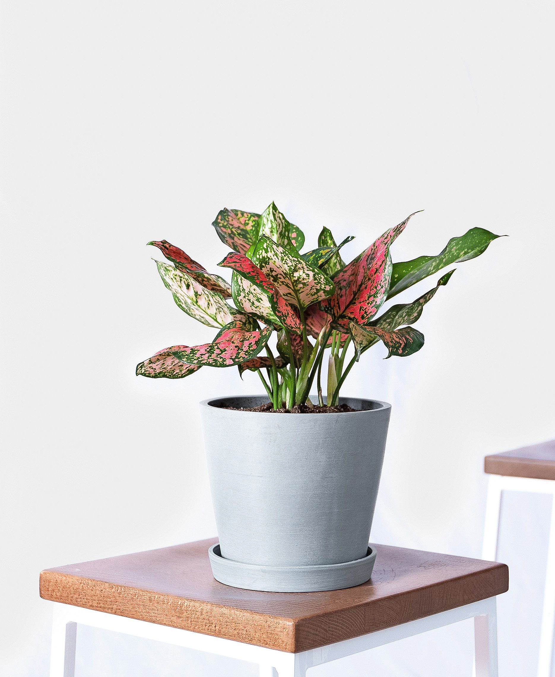 A pink and green Chinese evergreen in a white container.