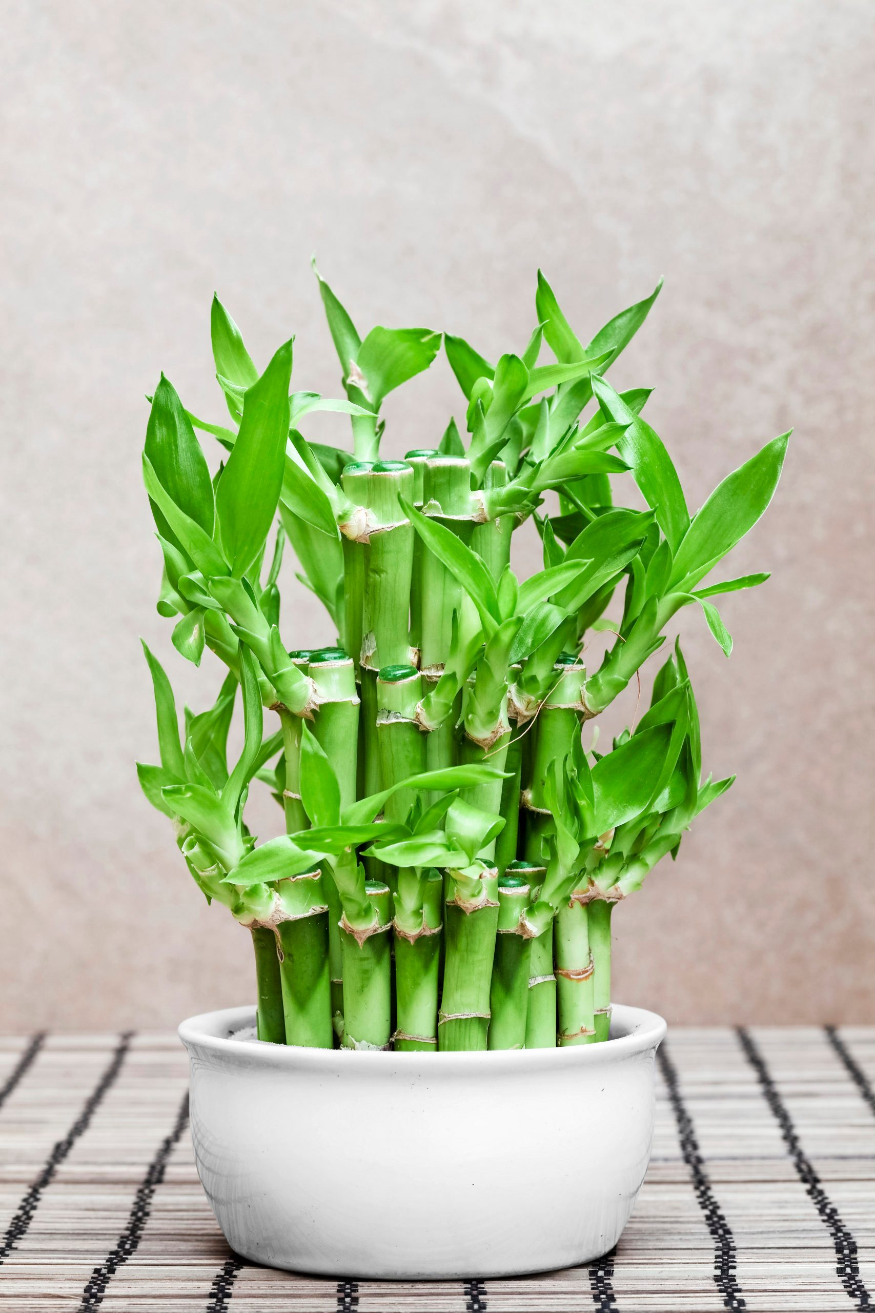 A cluster of lucky bamboo in a white pot.