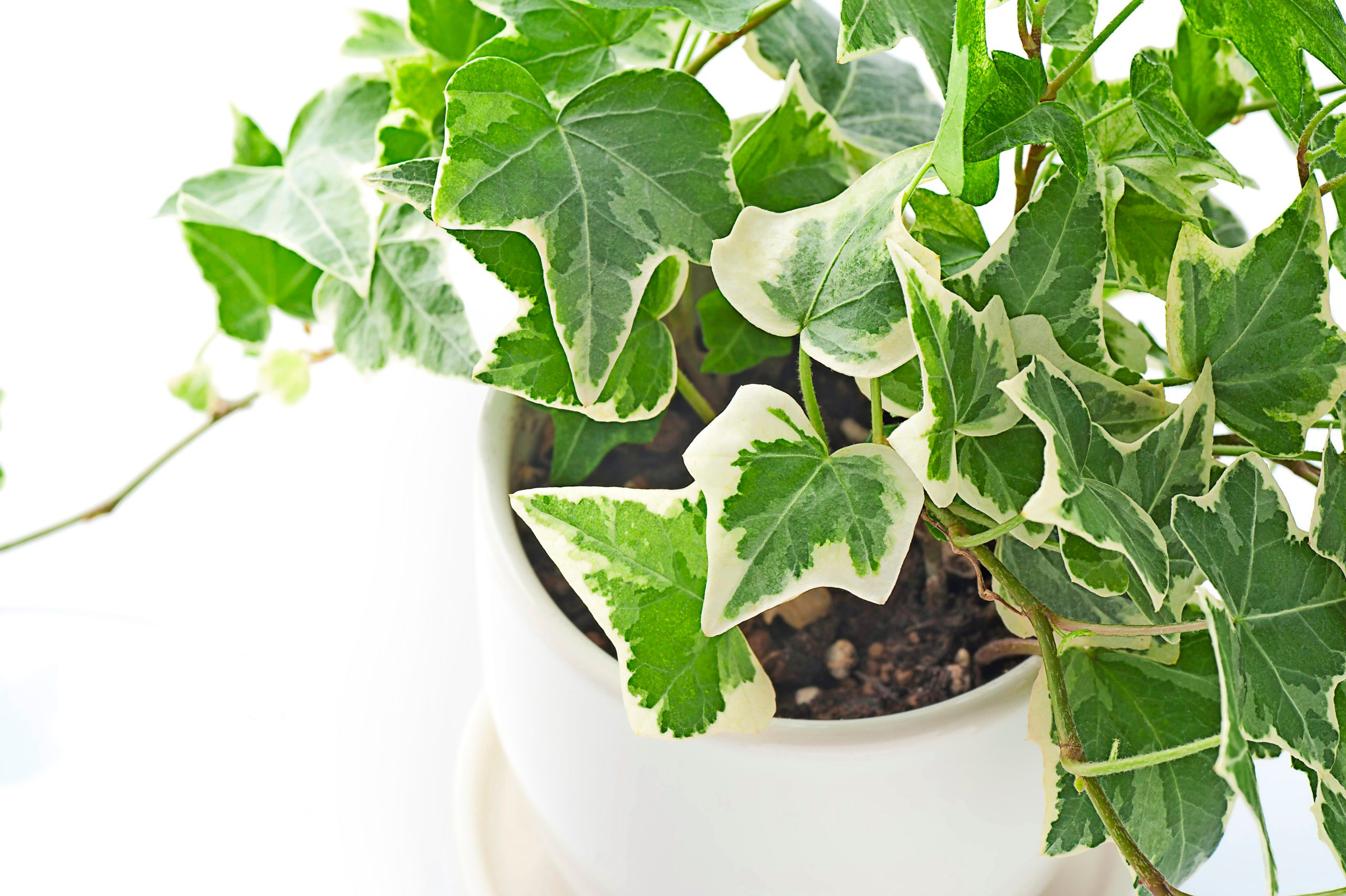 English ivy in a white pot.