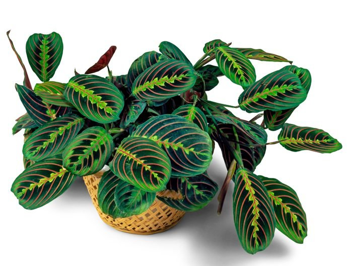 A colorful prayer plant sitting in a wicker basket.