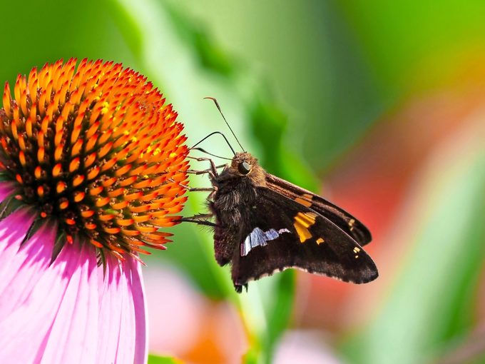A silver-spotted skipper sits on a coneflower.