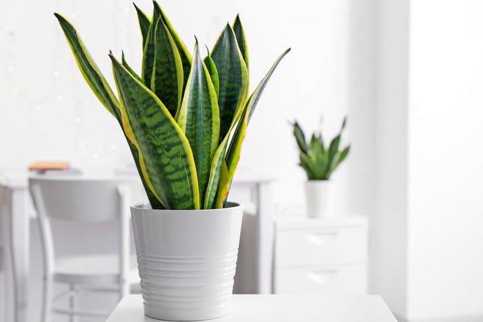 A snake plant sitting on a white table.