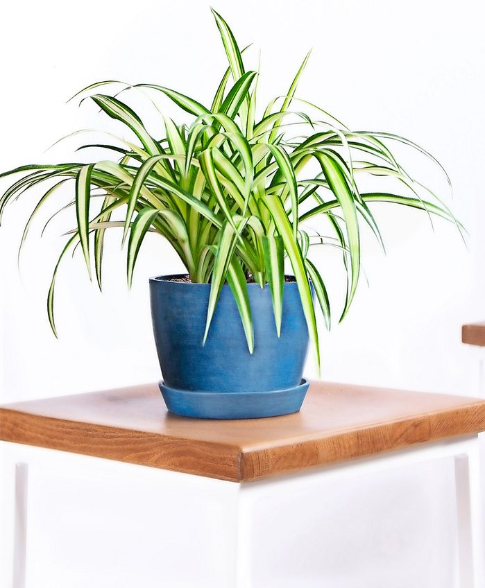 A spider plant in a cheery blue pot.