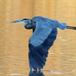 7 Fascinating Facts About Great Blue Herons