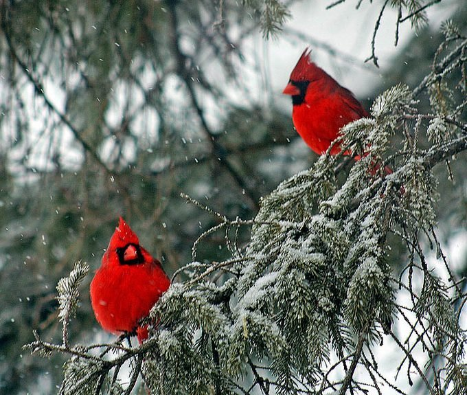 cardinals in a snowy evergreen tree