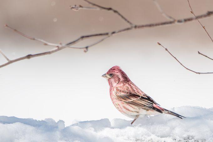 purple finch in snow