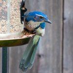 Meet the Jays: Blue Jays, California Scrub-Jays and Steller's Jays