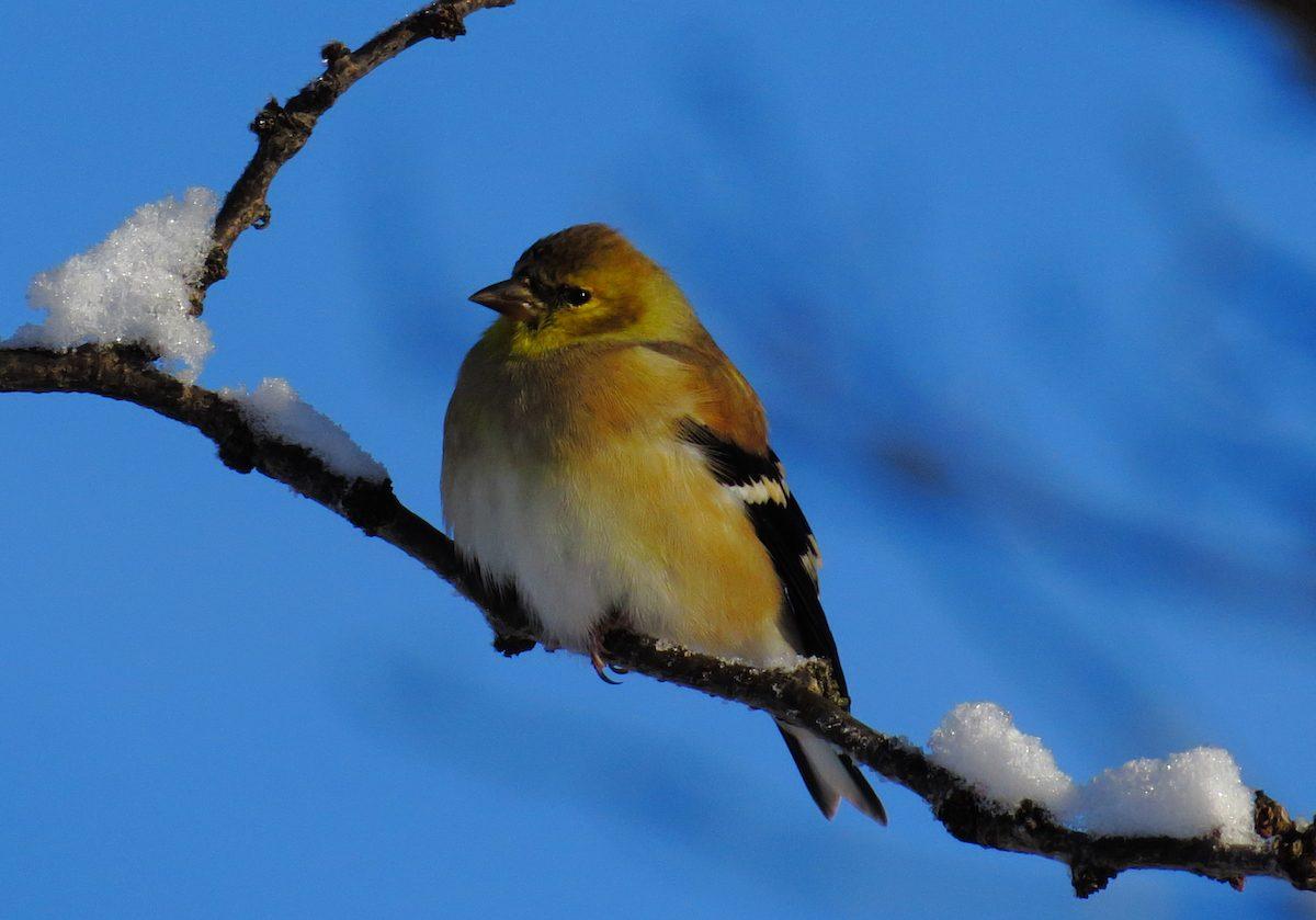 goldfinch on snowy branch
