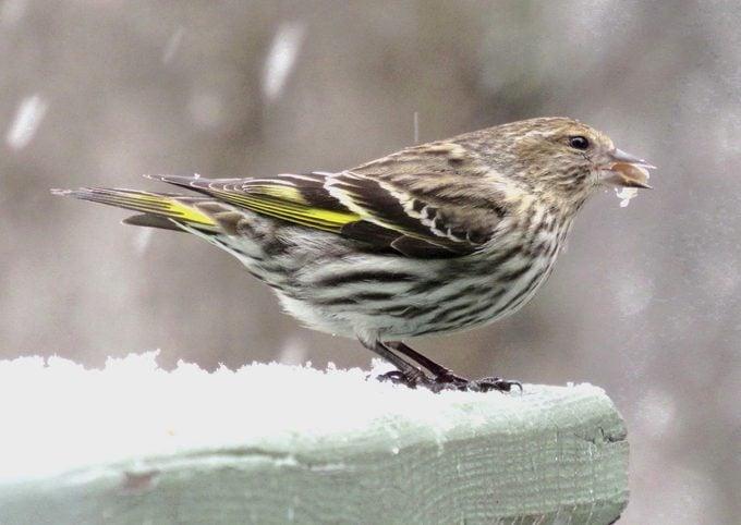 pine siskin in snow