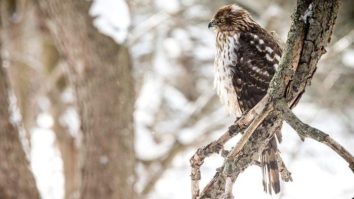 cooper's hawk in winter