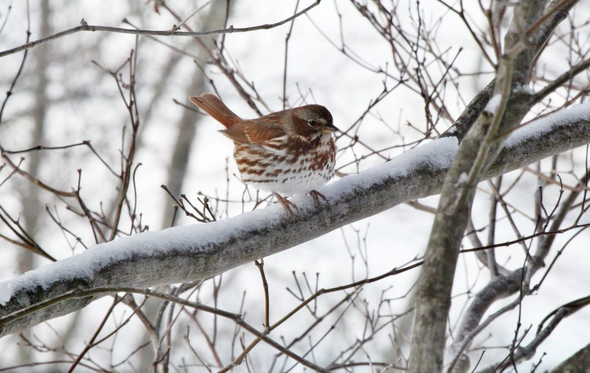 brown thrasher in snow