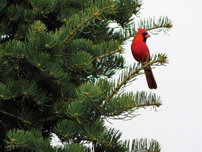 cardinal in a conifer tree