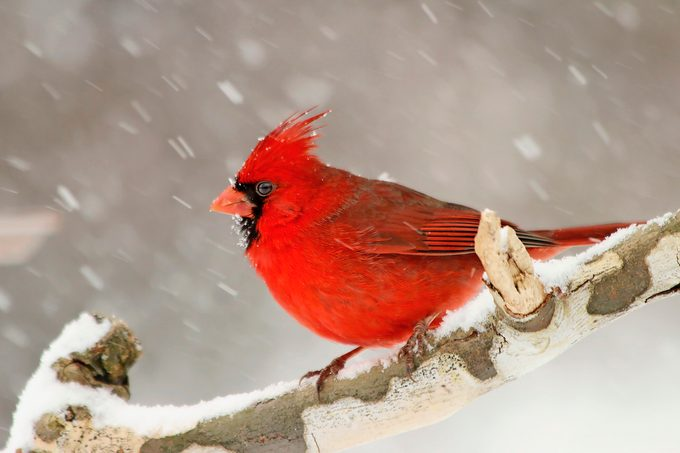 northern cardinal in snow