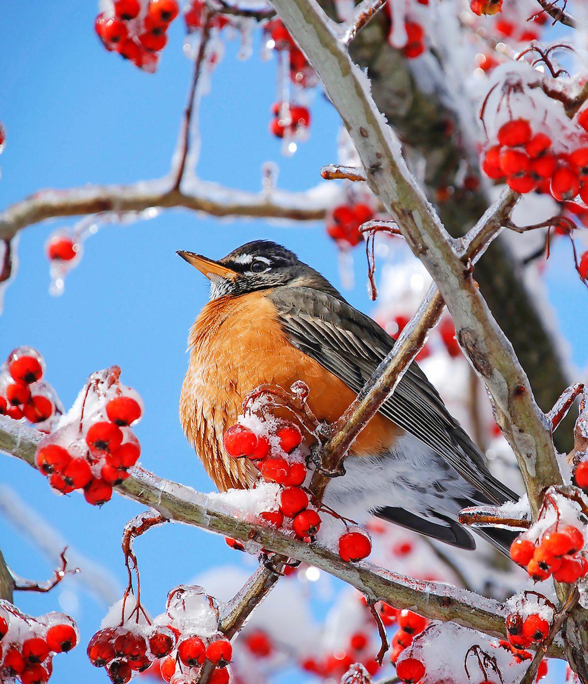 robin in snowy berry tree