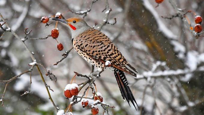 northern flicker in snow