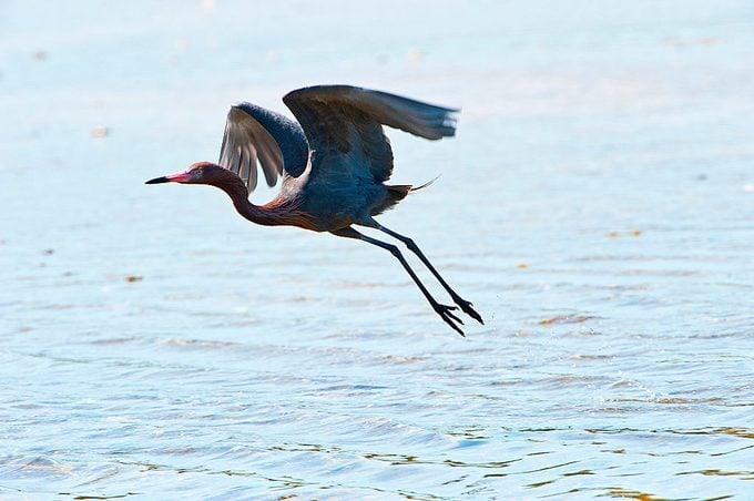 Nobody, Florida, Sanibel Island, Ding Darling National Wildlife Refuge, Reddish Egret Flying over Water