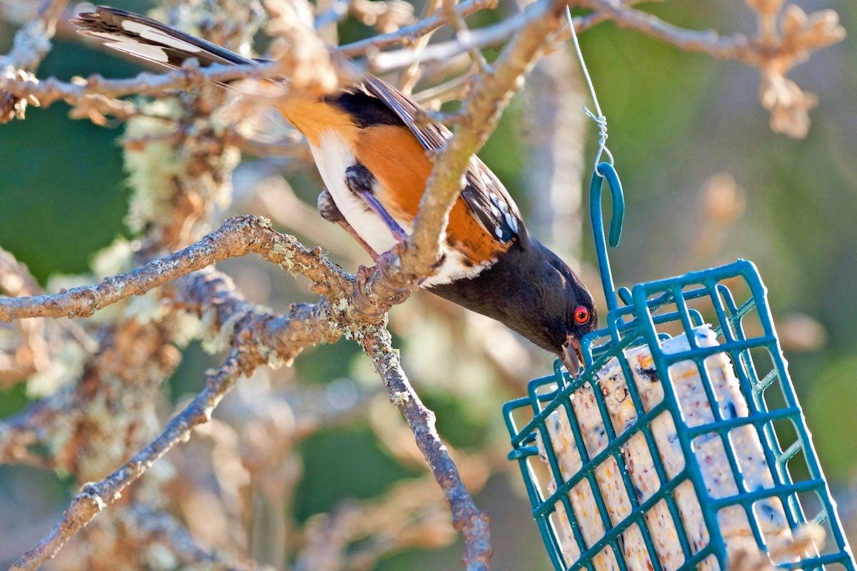 Autumn birds love to eat suet.