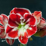 How to Grow the Biggest and Best Amaryllis
