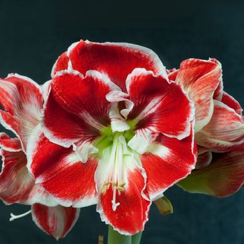 how to grow amaryllis bulbs