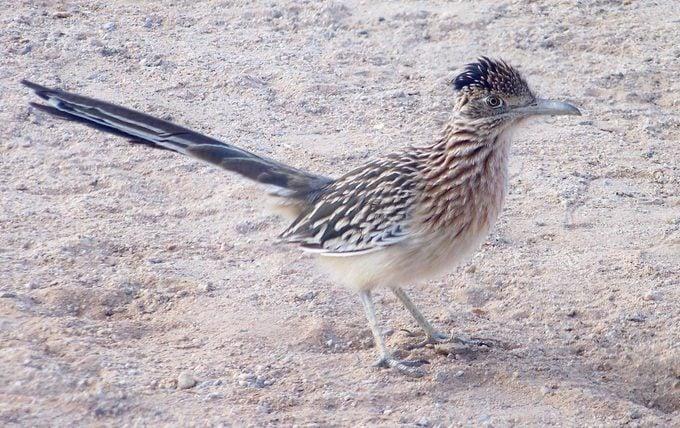 roadrunner birding by car