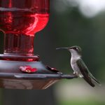 Is It Safe to Freeze Hummingbird Nectar?