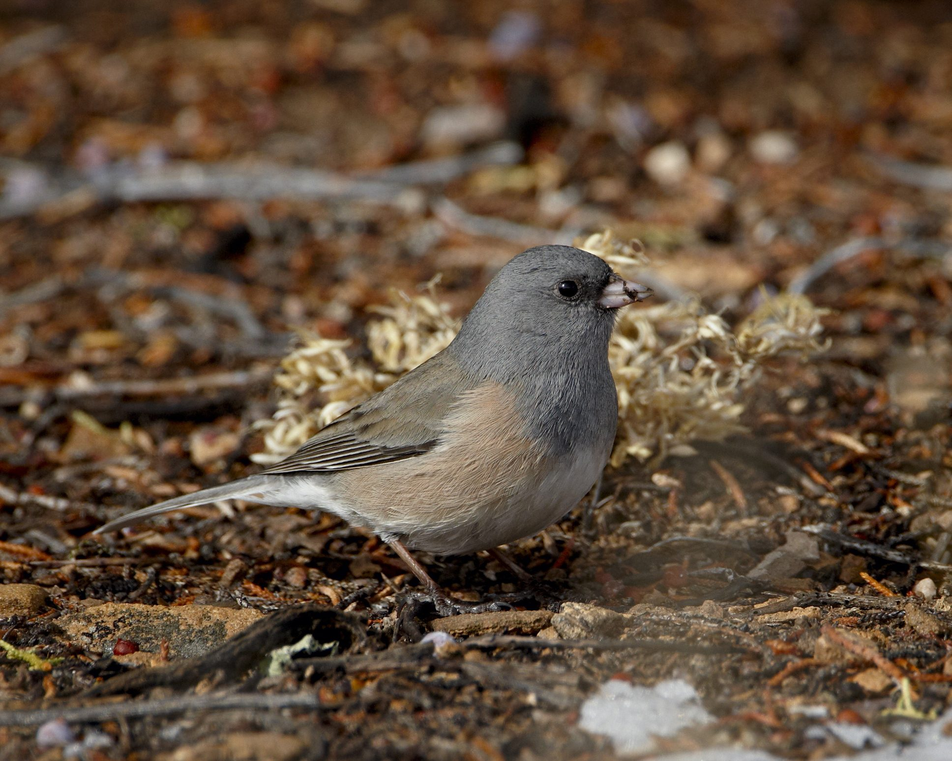 Pink-sided junco (Junco hyemalis mearnsi), Abiquiu Lake, New Mexico, United States of America, North America